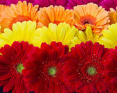 gerber fiore