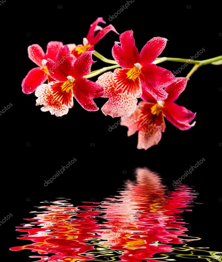 Orchid and water reflection