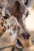portrét mladé žirafy
