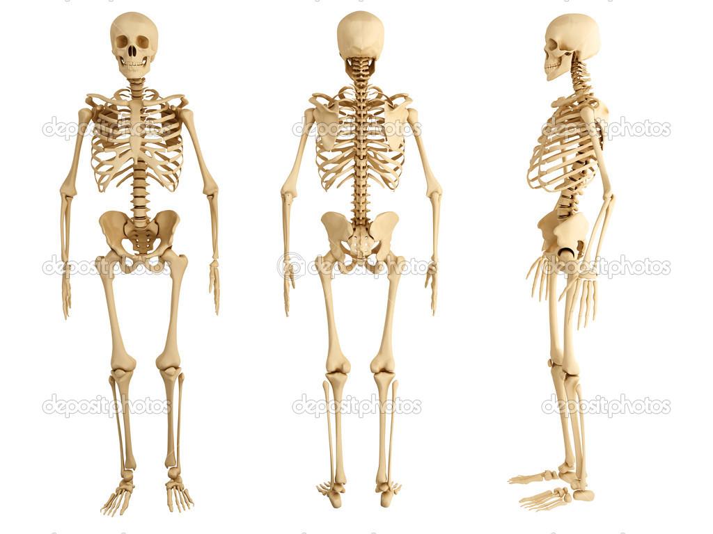esqueleto humano — Fotos de Stock © abidal #35154983