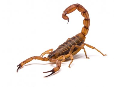 Very dangerowus big Scorpion
