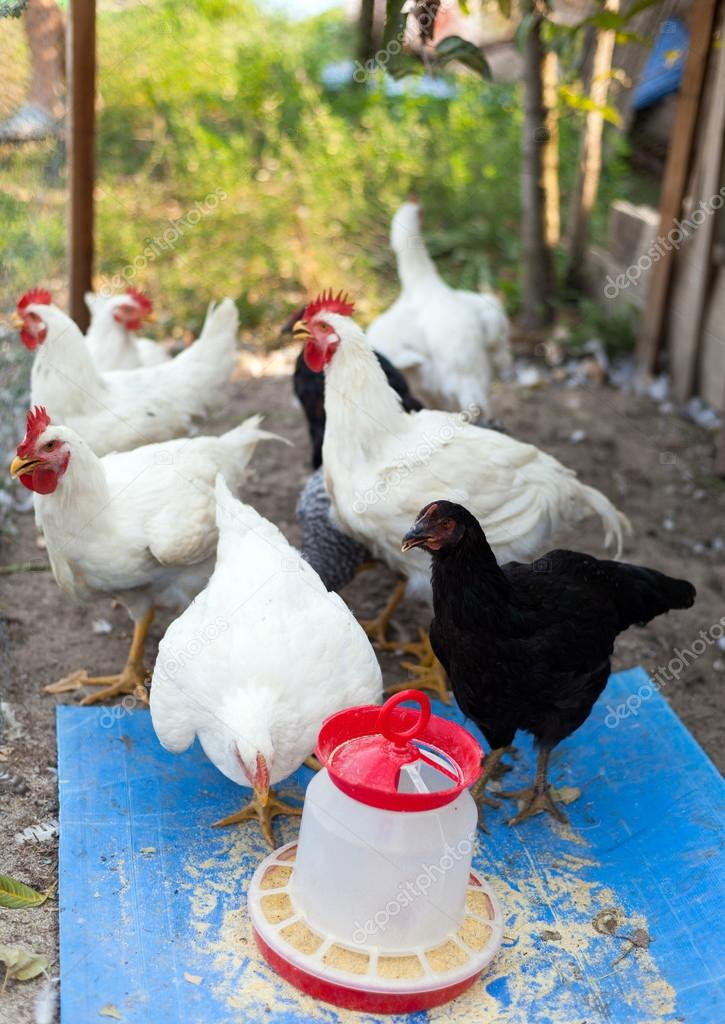 A group of young chicken