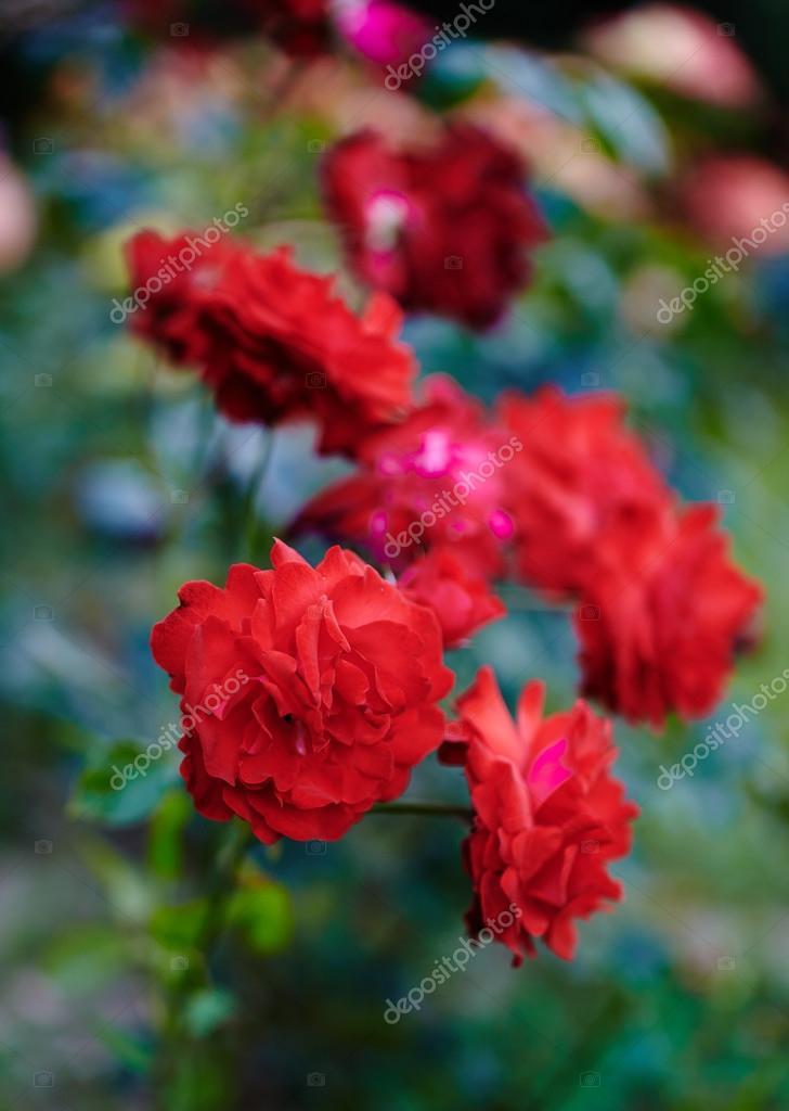 Red roses bush