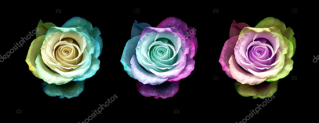 Multi colour roses isolated on black background