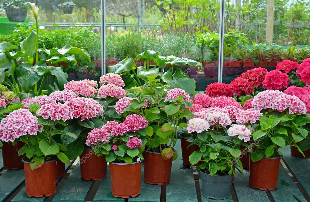 Hydrangeas in garden shop