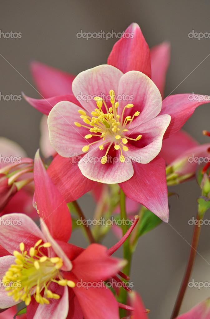 Rosa und weiße Akelei-Blüte — Stockfoto © montana #24317447