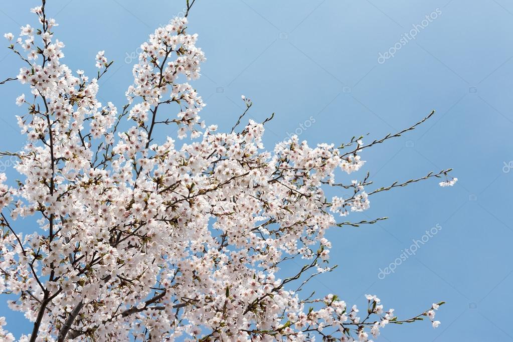 Cherry blossom scenery