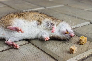 Rat poisoned by toxic bait