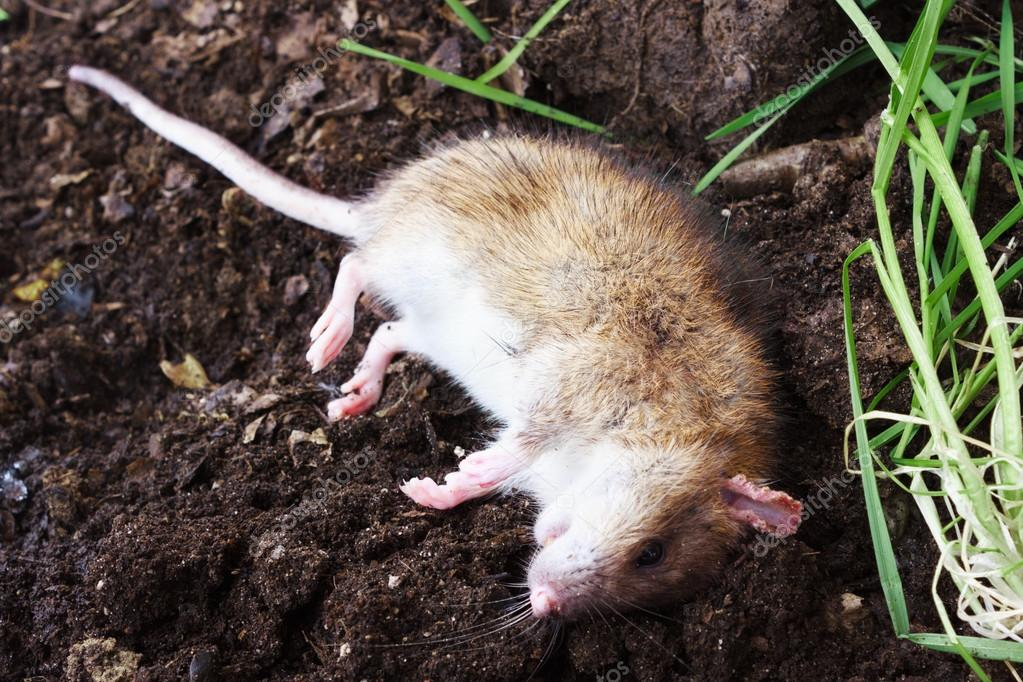 Redhead poisoned rat on the field