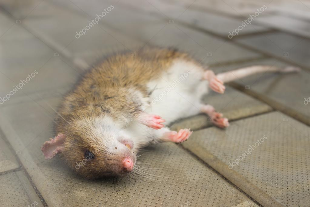 Rat, poisoned poisonous smoke