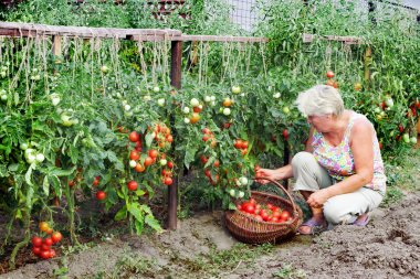 Mistress of a kitchen garden received harvest