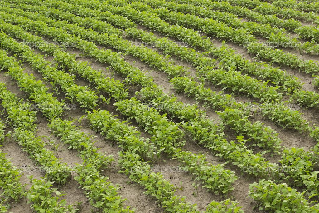 Mest Voor Tuin : Gewassen van mosterd als een groene mest in de tuin u2014 stockfoto