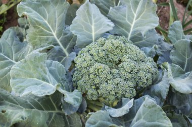 Lush cabbage broccoli in the garden