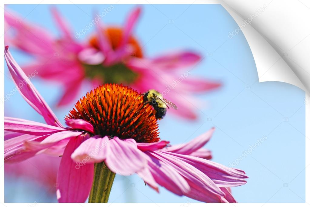 Paper picture illustion of a bumblebee on coneflower