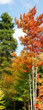 Vertical panorama of fall forest