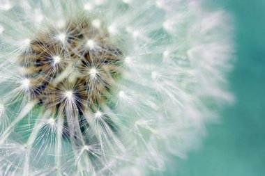 Dandelion fluffy seeds over blue