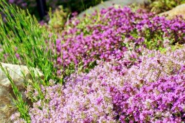 Thyme purple flowers