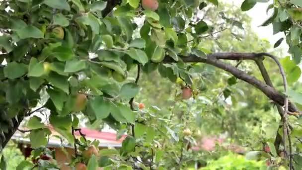 jabloň v sadu