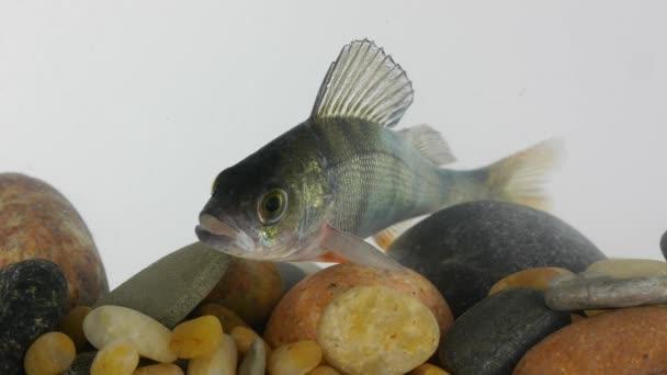 ryba okoun