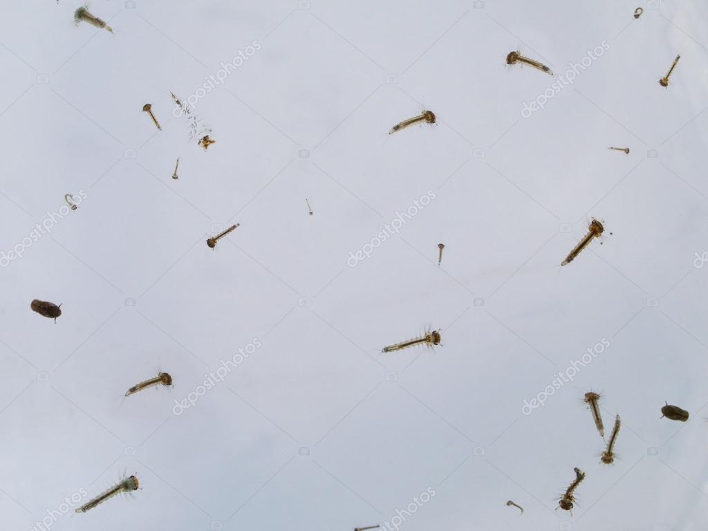 Moskito larve stockfoto 48194461 for Larve zanzare