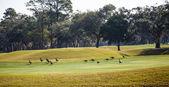 Kanada husy na golfovém hřišti green
