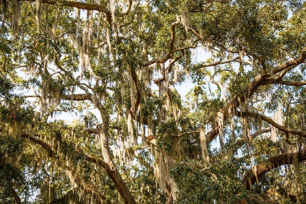 カシおよびマグノリアの木のサル...