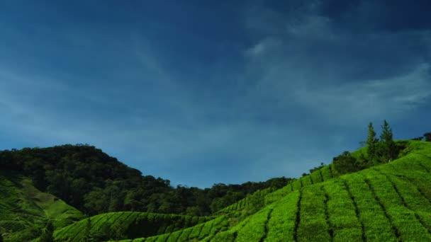 piantagioni di tè di cameron highlands malaysia
