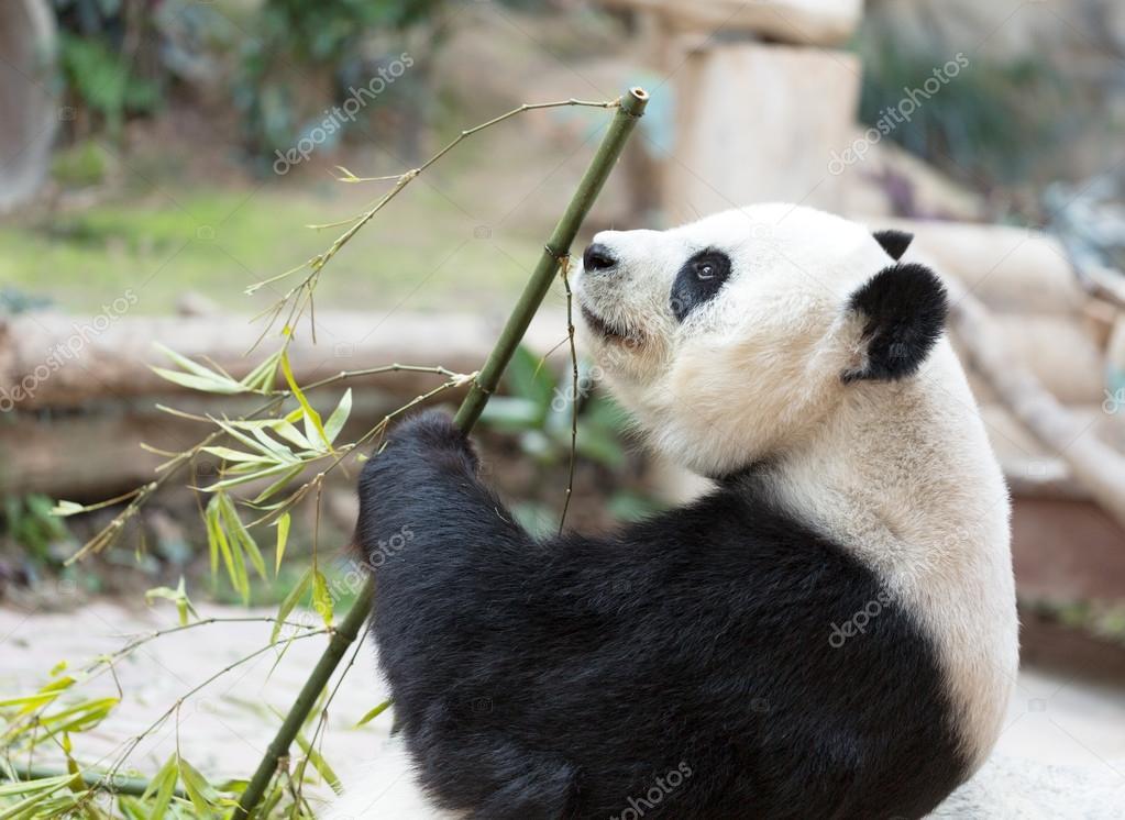 Lindo Oso Panda Gigante Comiendo Bambú