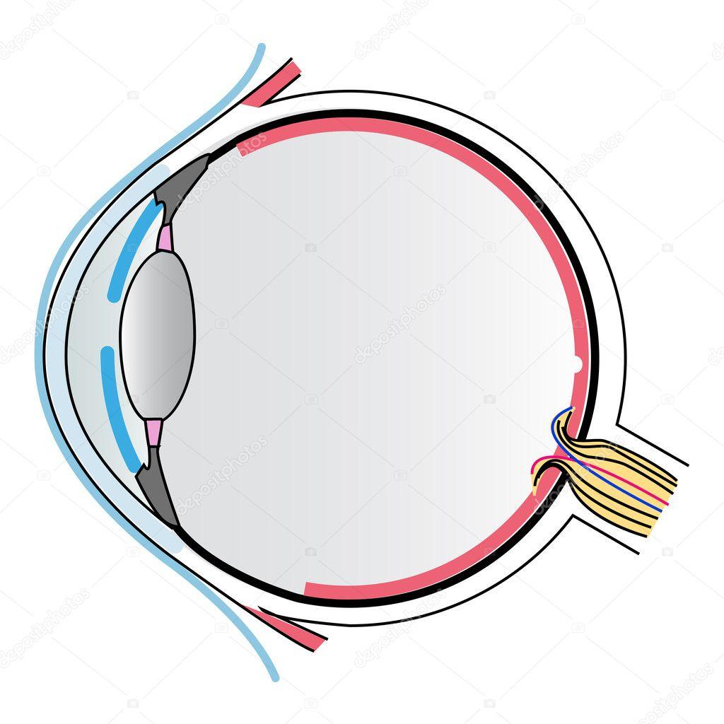 Anatomía del ojo — Vector de stock © ngaga35 #32339283