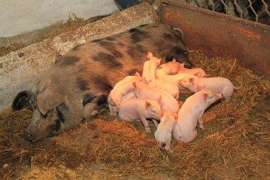 Suckling piglets