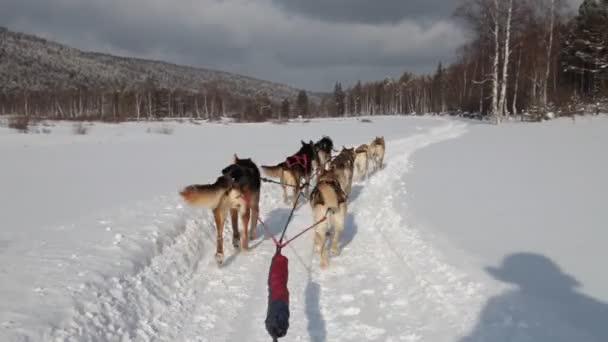 tým psi sibiřský spřežení táhne sáně lesem zimní