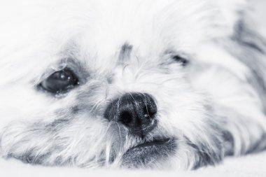 Adorable dog thinking, artistic toned photo