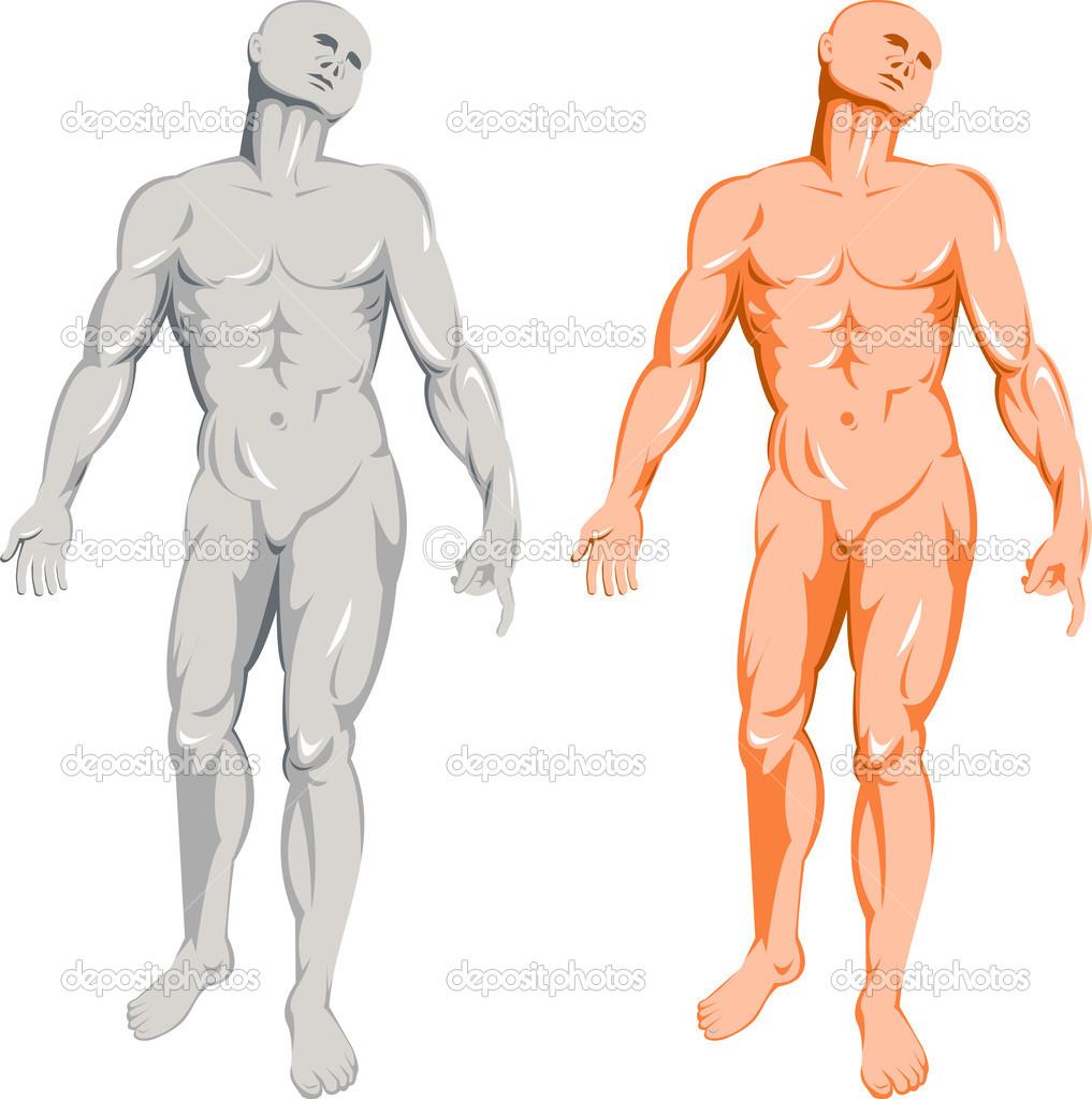 anatomía humana, mostrando a un hombre de pie — Vector de stock ...