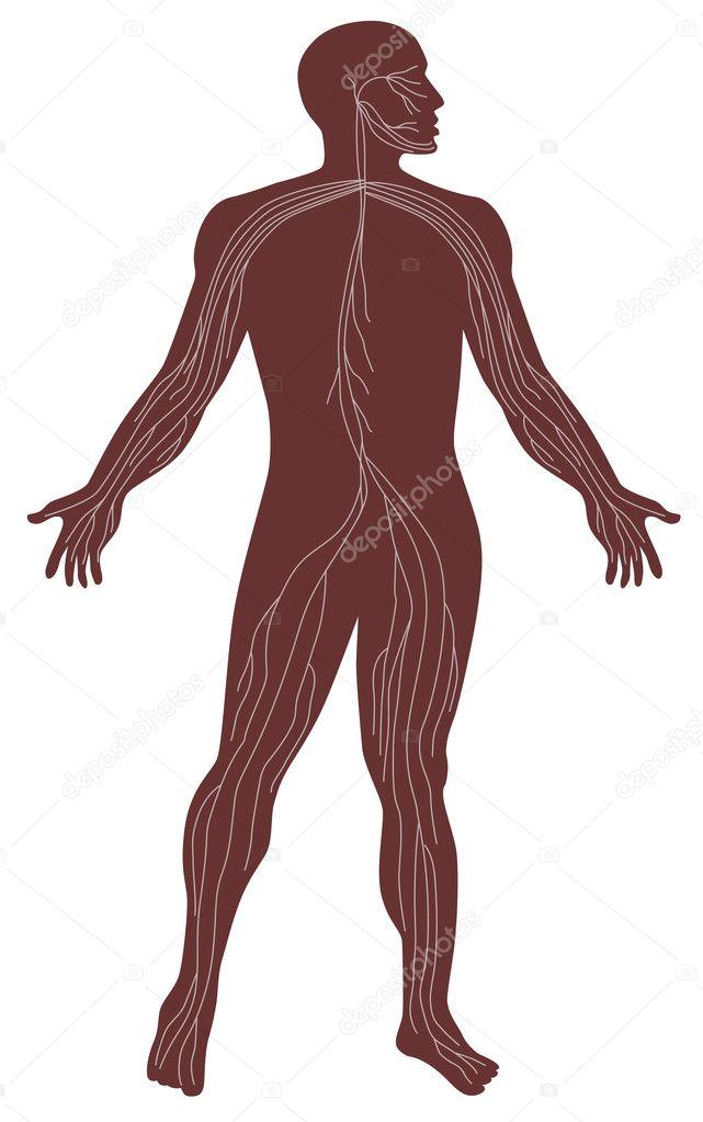 männliche menschliche Anatomie-Nervensystem — Stockvektor ...