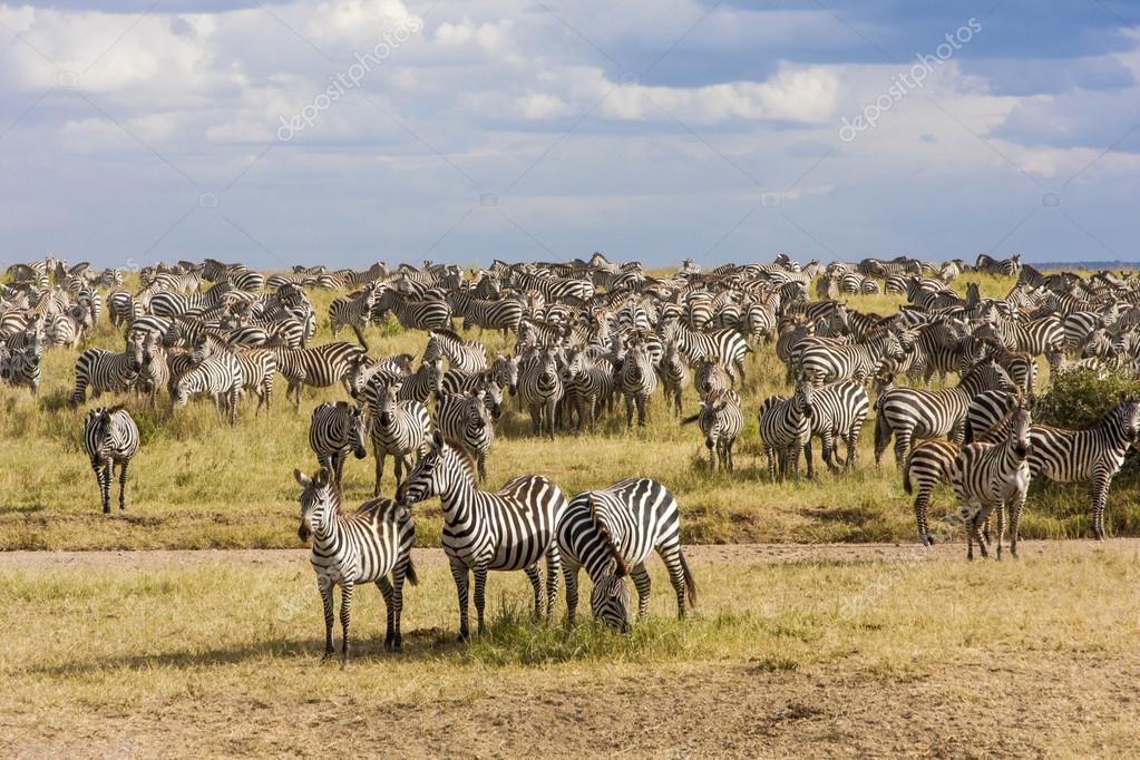 Zebra herd during migration in Serengeti national park Tanzania
