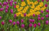 kvetoucí tulipány v květinovém záhonu