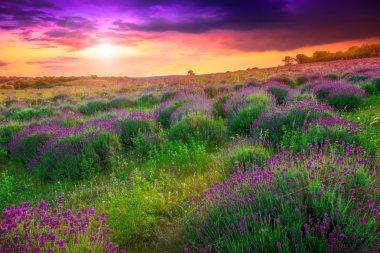 Lavender field in Tihany, Hungary- This photo make hrd technik stock vector