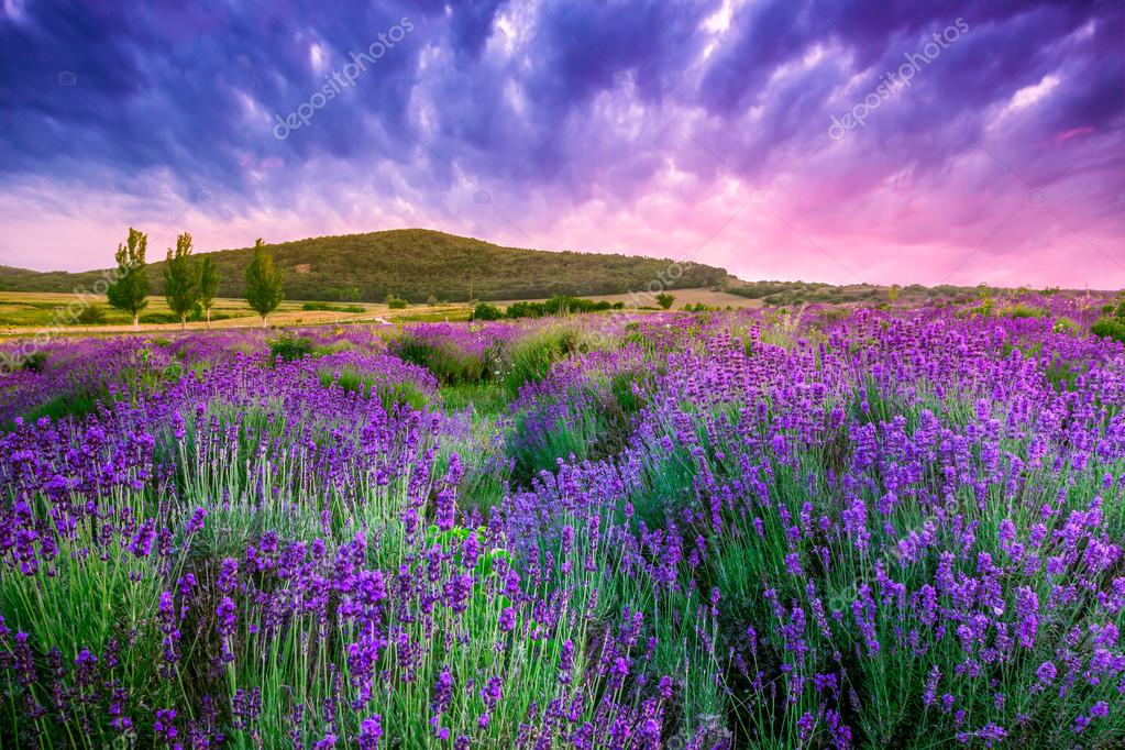 Фотообои Sunset over a summer lavender field in Tihany, Hungary