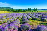 levandulové pole v létě