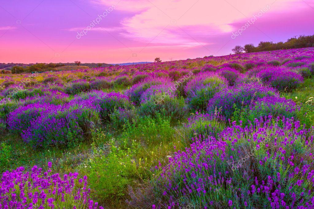 Lavender field in summer