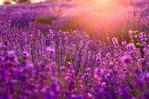 Fotografie levandulové pole v tihany, Maďarsko