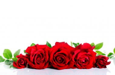 Red roses over white