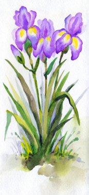 Watercolor landscape. Lush purple irises in the park