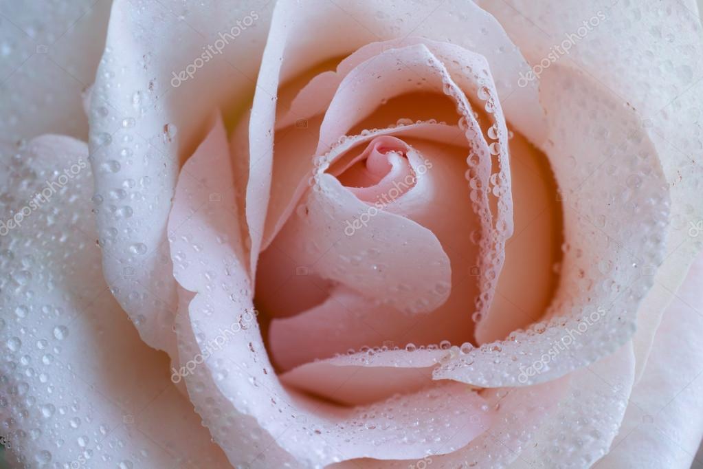 Роза сучка