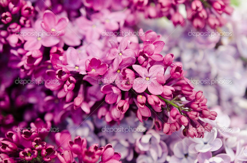 Blooming Flower Of Purple Lilac Stock Photo