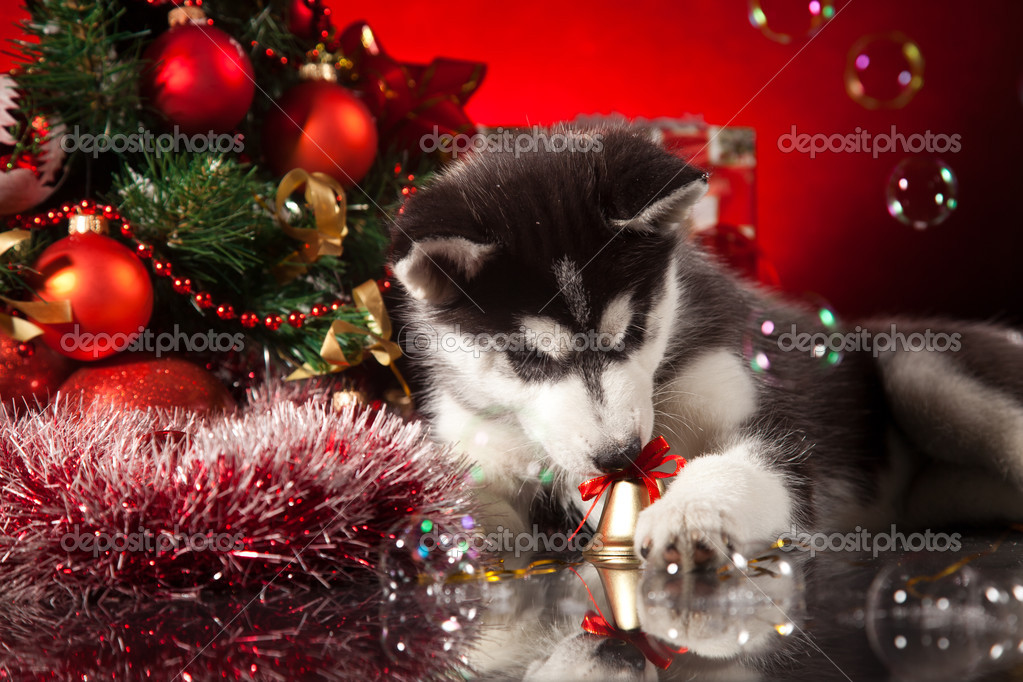 siberian husky puppy with christmas decoration photo by saksoni - Husky Christmas Decoration
