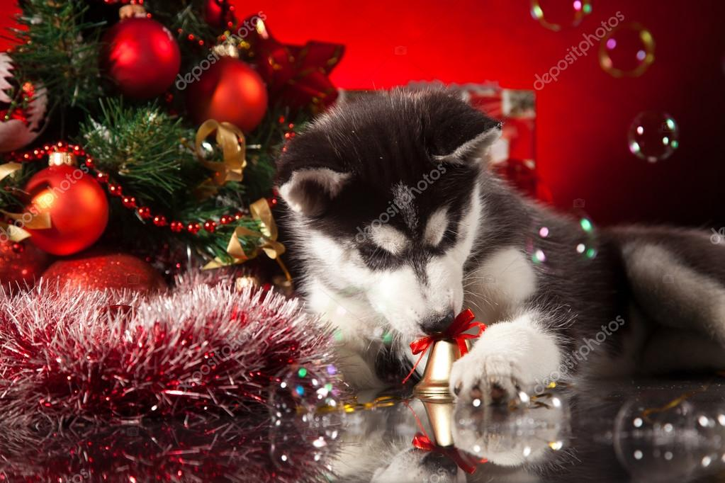 siberian husky puppy with christmas decoration photo by saksoni