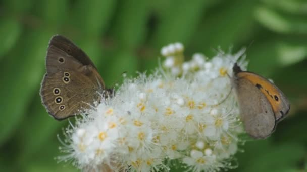 krmení motýli