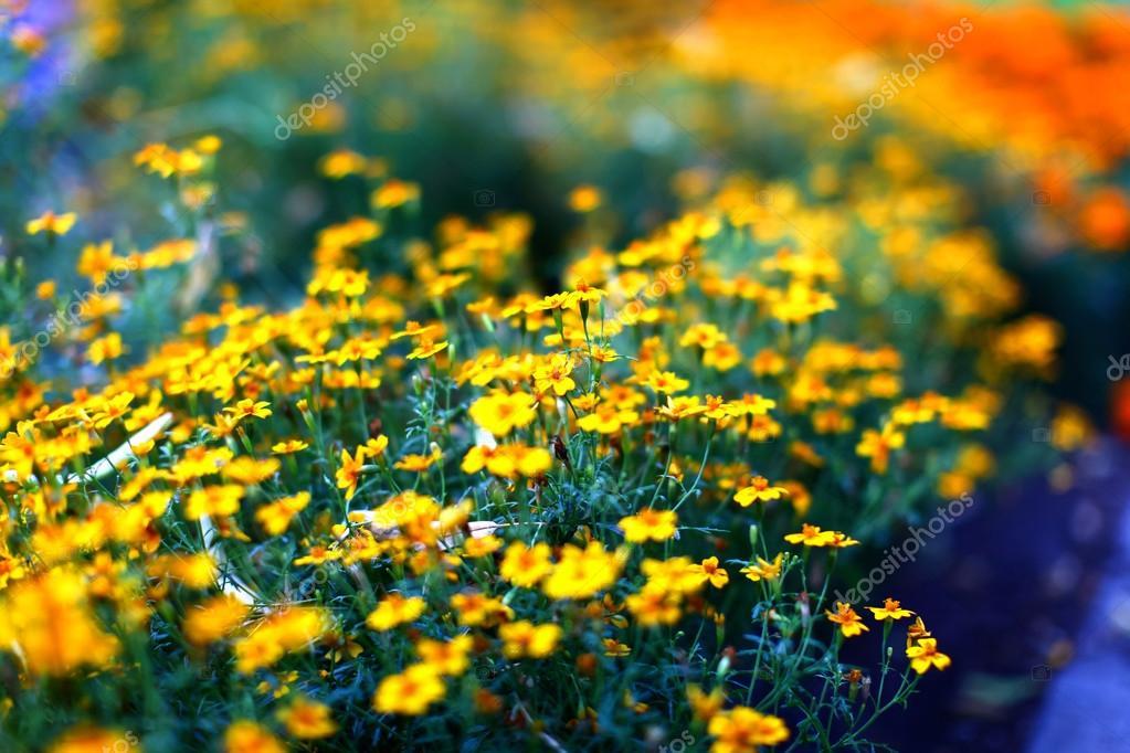 Field of beautiful yellow marigold flowers