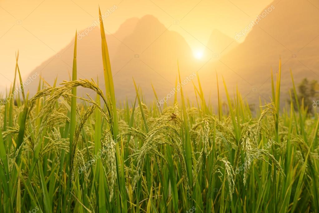 Paddy rice harvest